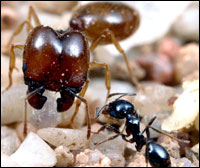 Two ants of the species Pheidole barbata, fulfilling different roles in the same colony